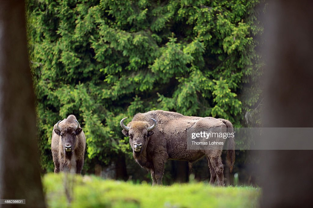 A herd of European bison roams through a forest in the Rothaargebirge mountain range on May 5, 2014 near Bad Berleburg, Germany. The herd is a project of Wisent Welt Wittgenstein, a government-funded initiative which last year released the herd in an effort to restock the bison in the wild. European bison were once plentiful across Europe and Russia, though their numbers were decimated to near extinction by hunting and habitat encroachment.