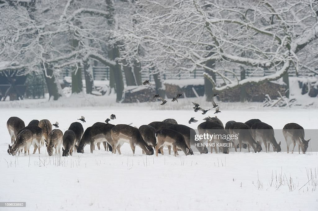 A herd of fallow deer looks for food on January 16, 2013 in the town forest in Cologne, western Germany. AFP PHOTO / HENNING KAISER /GERMANY OUT