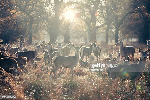 Herd of female deers