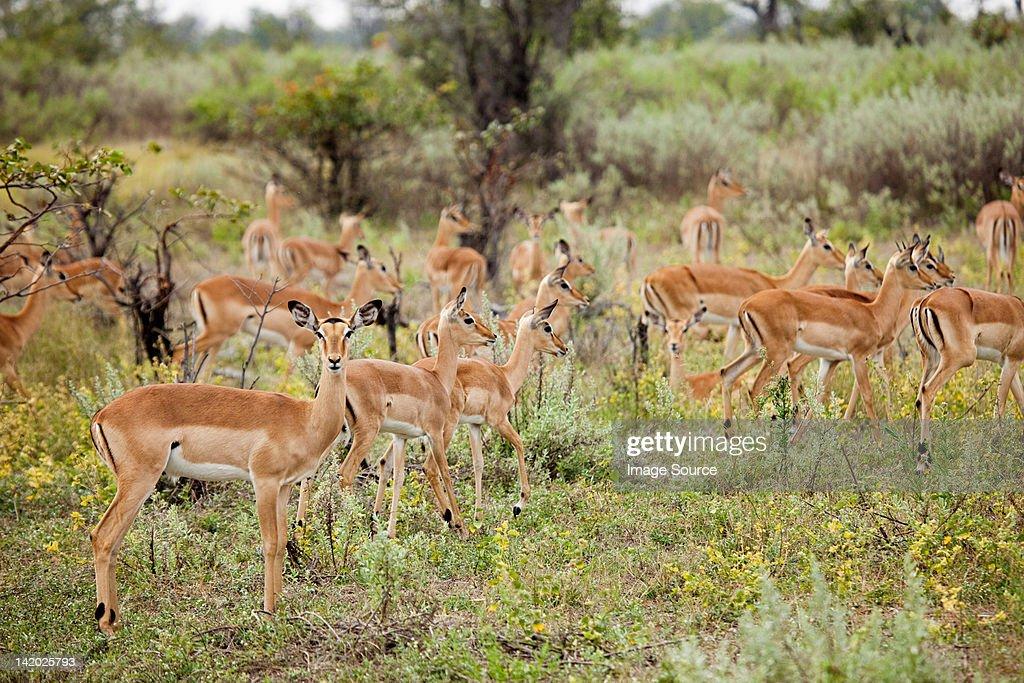 Herd of Female Impala, Botswana, Africa : Stock Photo