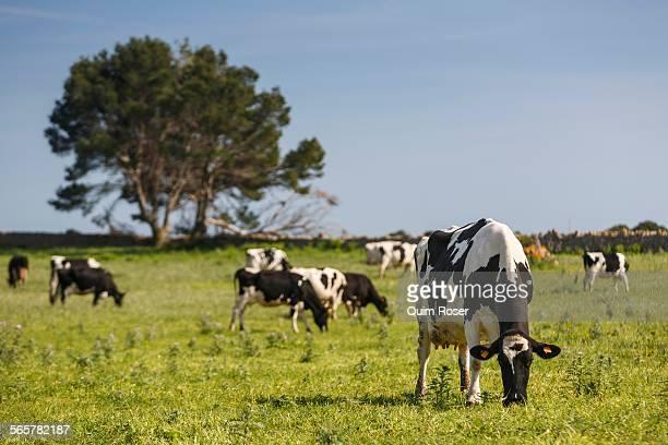 Herd of friesian cows grazing in field