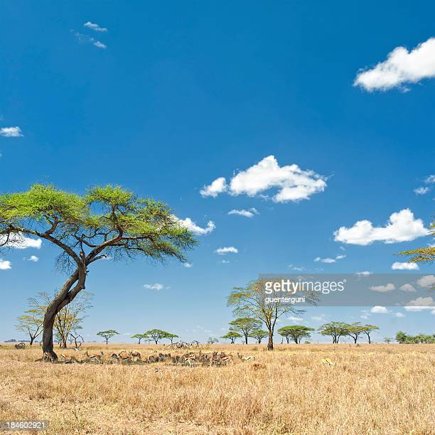 Herd of Gazelles under Acacia trees, Serengeti, Africa
