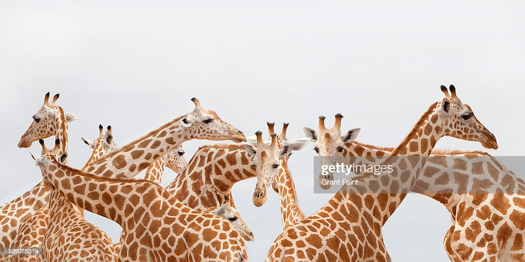Herd of giraffe. : Stock Photo