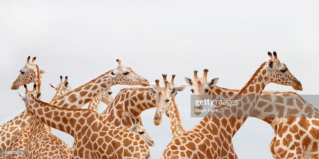 Herd of giraffe.