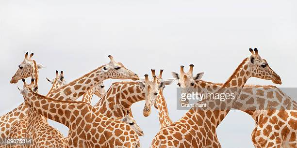 Herd of giraffe.