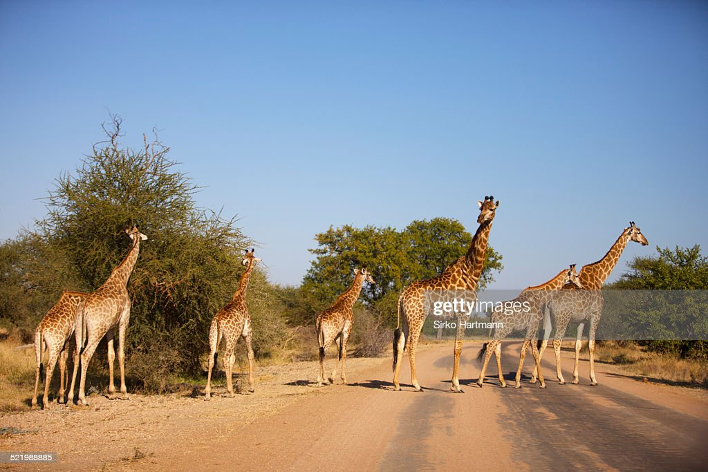 Herd of giraffes -Giraffa camelopardalis- with young, Kruger National Park, South Africa