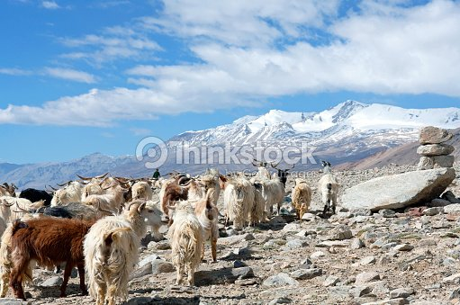 herd of goats in the indian himalayas ストックフォト thinkstock