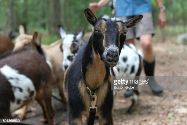 A herd of goats owned by Lexington resident Hale Sofia Schatz graze through conservation land in Lexington MA on Jun 19 2017