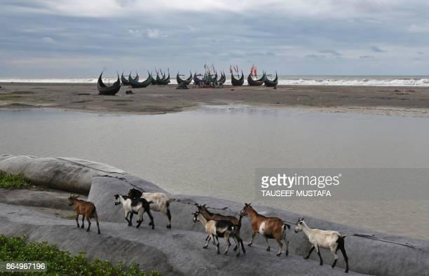 A herd of goats walks past fishing boats at Maheshkali pora island near the Bangladeshi town of Teknaf on October 22 2017 Thousands of Rohingya...