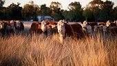 Herd of grass fed beef cattle sunset in rural NSW Australia staring at camera
