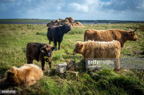 A herd of Highland cows stand in a field on a farm in the Scottish Highlands near Dunnet.