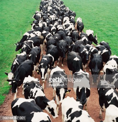 Herd of Holstein-Friesian cows on path in field, elevated view : Stock Photo
