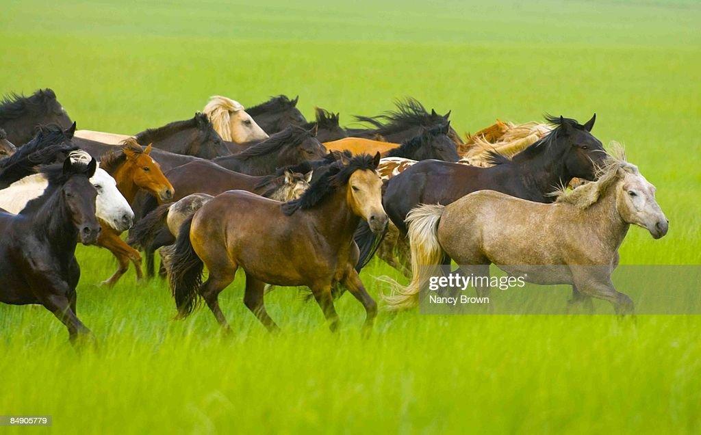 Herd of Horses Running  across grasslands in Inner