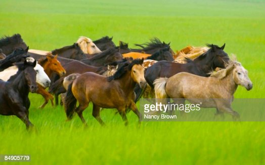 Herd of Horses Running  across grasslands in Inner