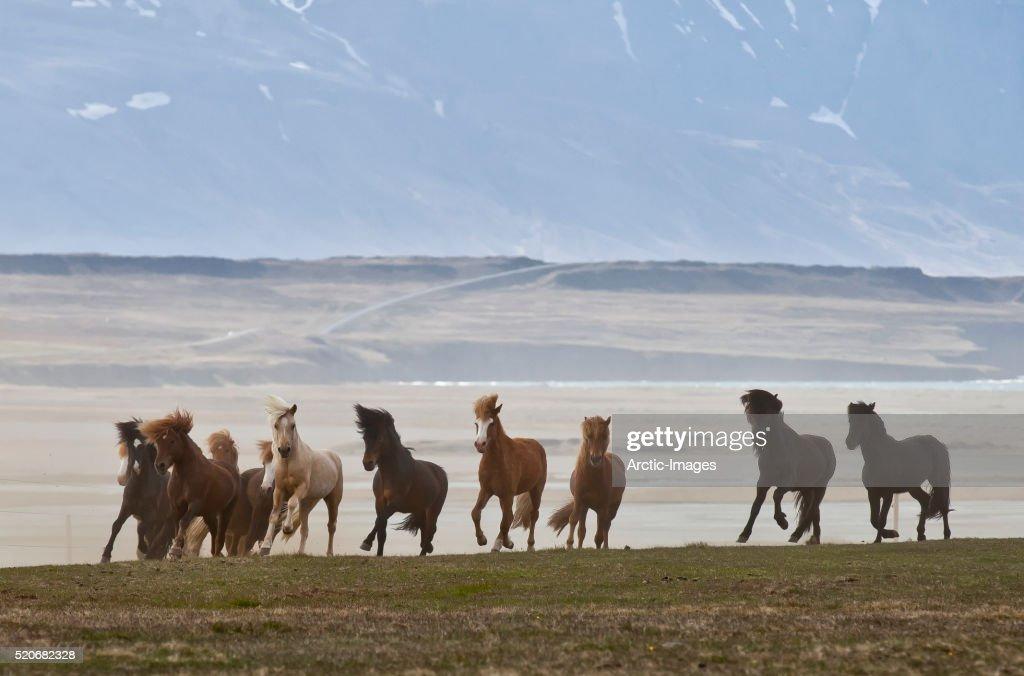 Herd of Icelandic horses running, Northern Iceland