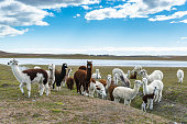 A herd of llamas. Chile