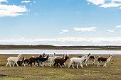 A herd of llamas in Pampas
