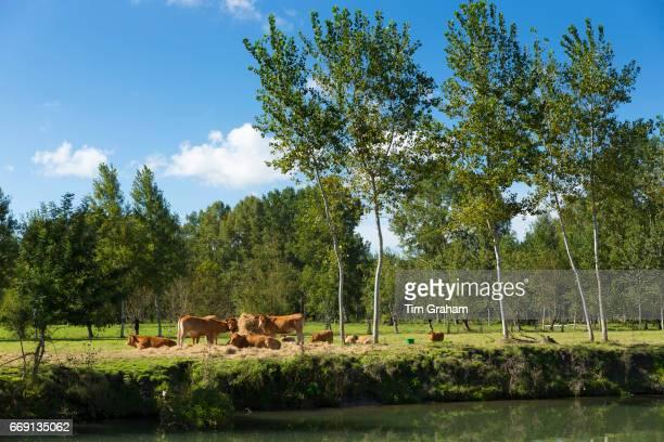 Herd of Maraichine cattle by Marais Poitrevin canal and marshland region a Grand Site de France