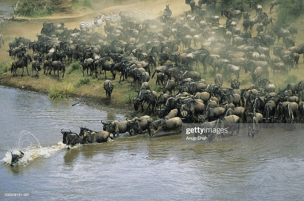 Herd of migrating wildebeest (Connochaetes taurinus) crossing river
