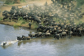 Herd of migrating wildebeest (Connochaetes taurinus) crossing river