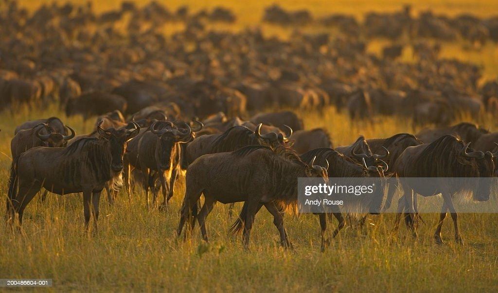 Herd of migrating wildebeest (Connochaetes taurinus) : Stock Photo