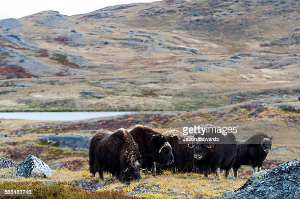 A herd of Musk Ox grazing on the tundra near the Greenland Ice Sheet.