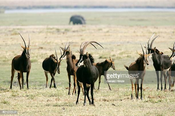 Herd of Sable Antelope (Hippotragus niger), Chobe River, Botswana