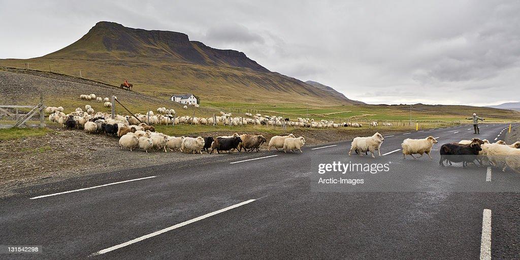 Herd of sheep crossing the main road : Stock Photo