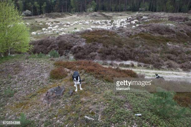 Herd of sheep grazing
