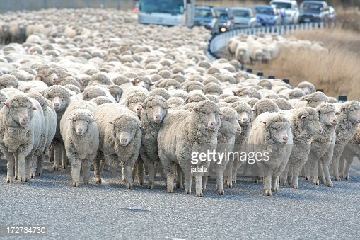 Herd of sheep in the street blocking cars trying to drive