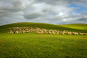 Herd of sheep on a Tuscan fields in  Tuscany,Italy, Europe. Nikon D3x, full frame, XXXL.