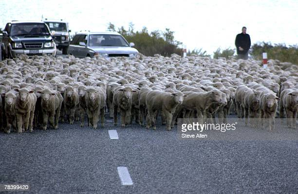 Herd of sheep on road, New Zealand