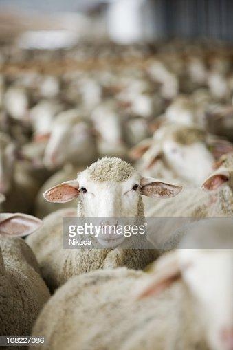 Mandria di pecore