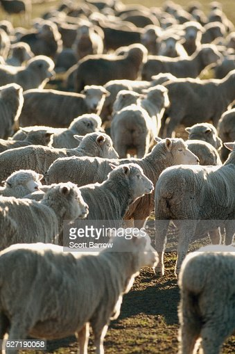 Herd of sheep : Stockfoto
