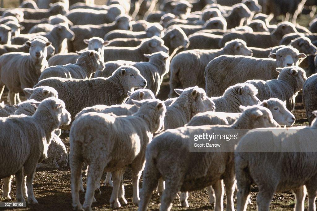 Herd of sheep : Stock Photo