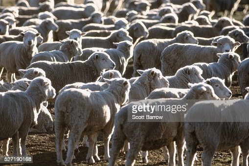 Herd of sheep : Stock-Foto