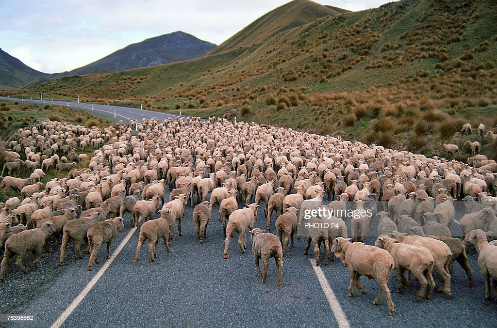 Herd of sheep : Foto de stock