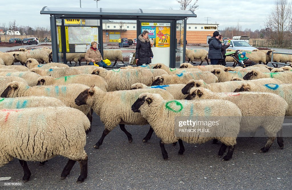 A herd of sheep walk past a bus stop in Berlin's Marzahn district as their shepherd drives the animals from one grazing ground to another on February 12, 2016 in Berlin. On their way, the shepherd and his 600 sheep had to cross among others a federal road and a railway crossing. / AFP / dpa / Patrick PLEUL / Germany OUT