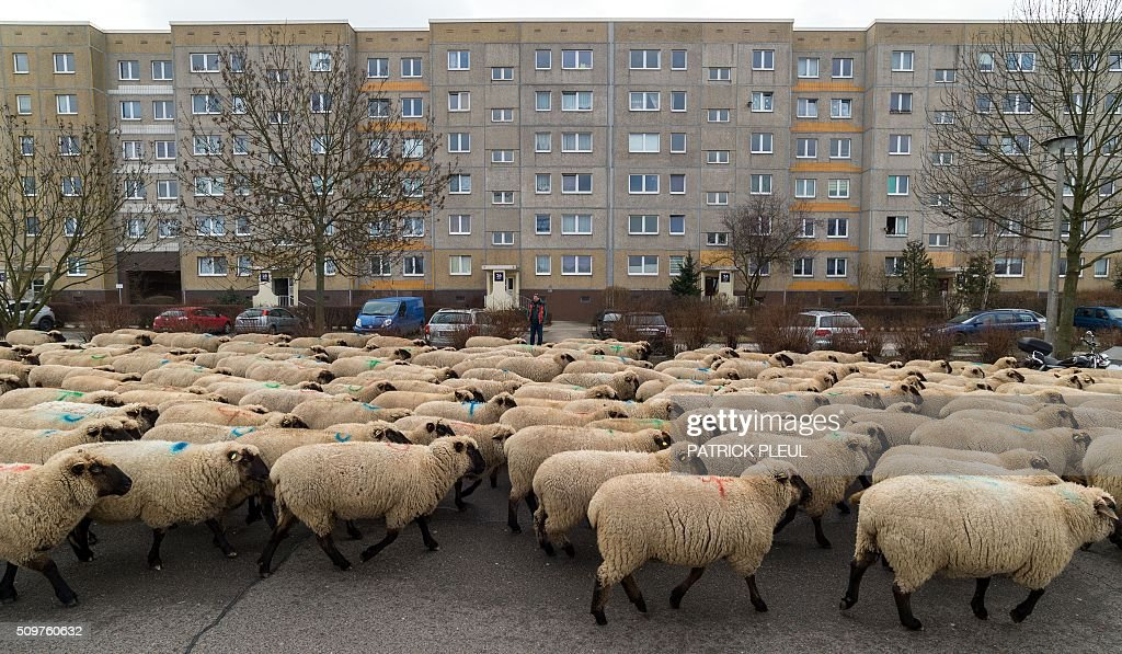 A herd of sheep walk past prefabricated buildings in Berlin's Marzahn district as their shepherd drives the animals from one grazing ground to another on February 12, 2016 in Berlin. On their way, the shepherd and his 600 sheep had to cross among others a federal road and a railway crossing. / AFP / dpa / Patrick PLEUL / Germany OUT