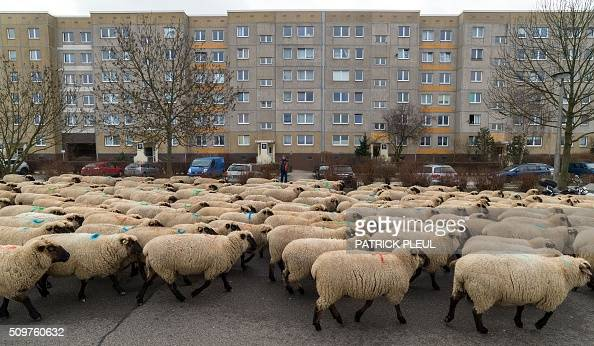 a herd of sheep walk past prefabricated buildings in. Black Bedroom Furniture Sets. Home Design Ideas