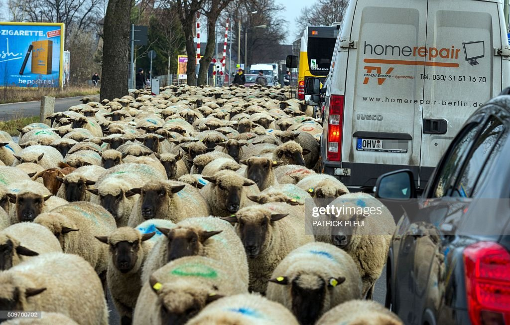 A herd of sheep walk through a street near Berlin's Marzahn district as their shepherd drives the animals from one grazing ground to another on February 12, 2016 in Berlin. On their way, the shepherd and his 600 sheep had to cross among others a federal road and a railway crossing. / AFP / dpa / Patrick PLEUL / Germany OUT