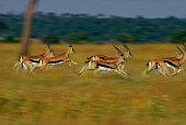 Herd of Thomson's Gazelles (Gazella thomsoni) running