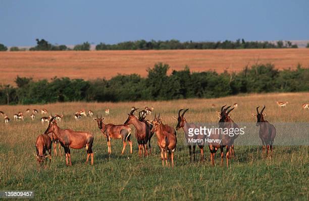 Herd of Topis or Tsessebes, Damaliscus lunatus, Maasai Mara National Park, Kenya, East Africa & Sahara.