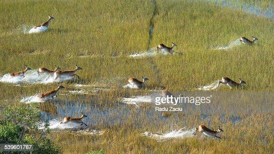 Herd of Water Antelopes crossing the flooded plain