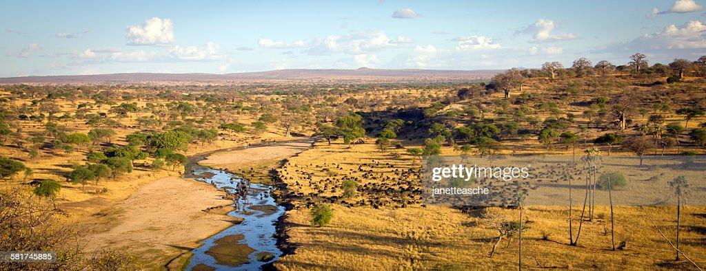 Herd of water buffalo grazing at Tarangire National Park Panorama, Manyara, Tanzania