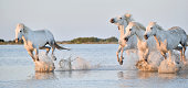 Herd of white horses running through water in sunset light. Parc Regional de Camargue - Provence, France