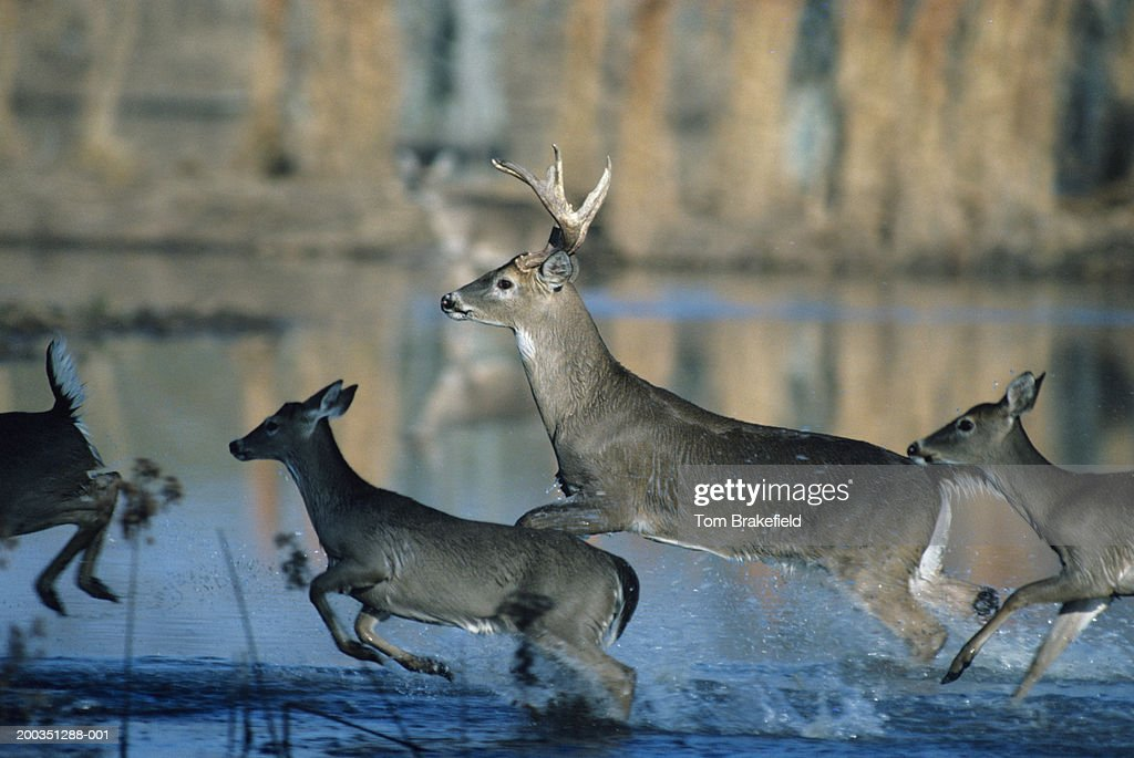 Herd of whitetail deer running through water : Stock Photo