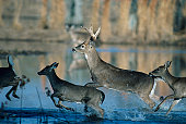 Herd of whitetail deer running through water