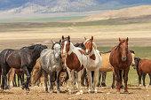a herd of wild horses in the Utah desert in summer