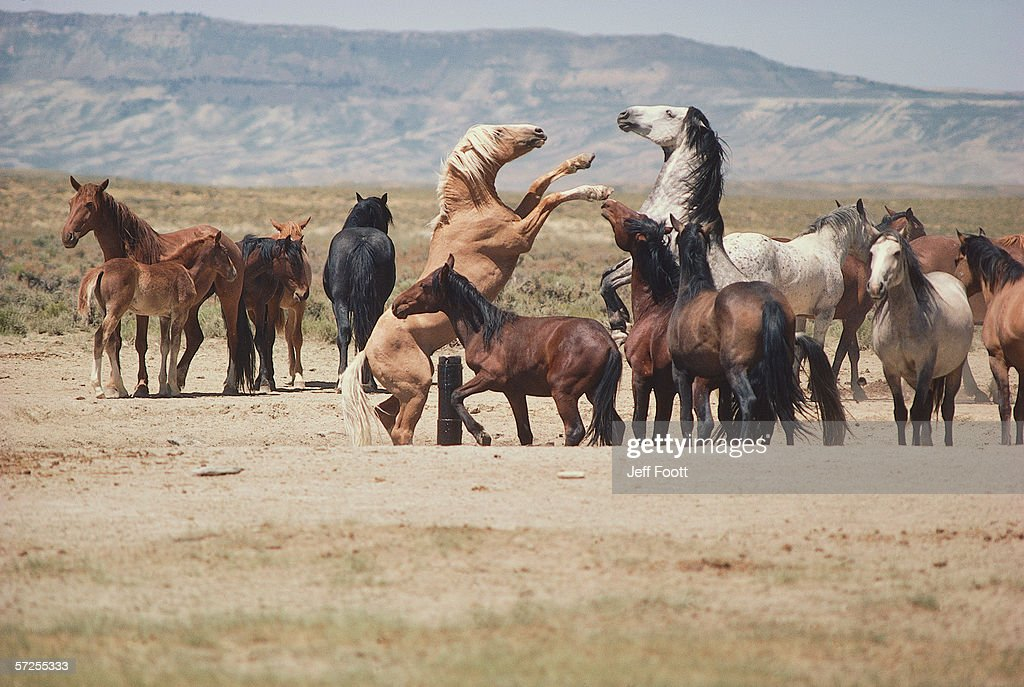A herd of wild horses. Two stallions fighting in the midst of a herd of horses. Pryor Mountain Wild Horse Range, Wyoming.